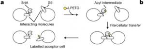peptide-receptor interaction