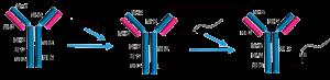 Antibody-Conjugate