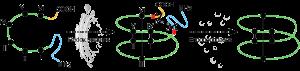 disulfide formation