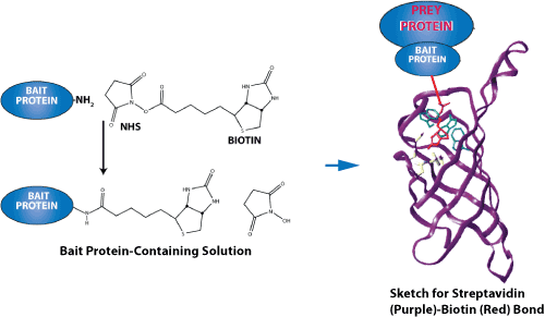 Peptide Synthesis Biotin Labeled Peptides Of Pull Down Experiments