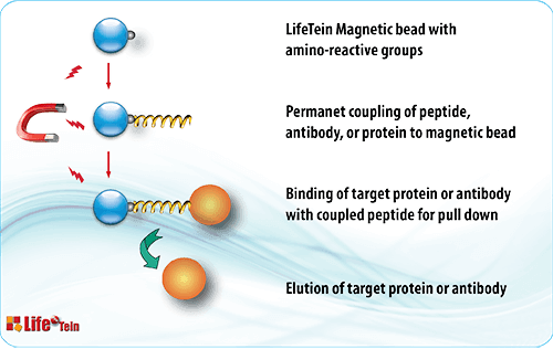Magnetic bead peptide pulldown